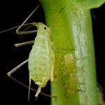 long-island-aphid-control